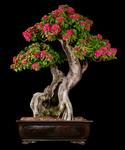 art of bonsai picture