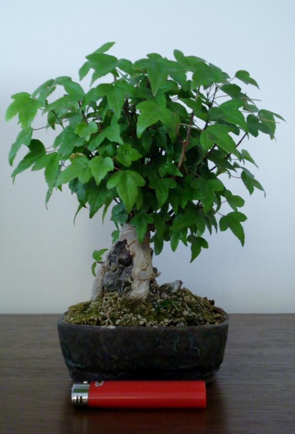 Shohin maple