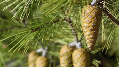 Η Χαλέπειος Πεύκη  (Pinus halepensis)