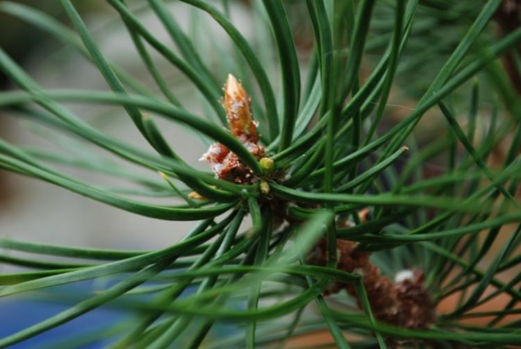 Πεύκα με έναν κύκλο ανάπτυξης ανά έτος (Pinus sylvestris, pinus mugo)