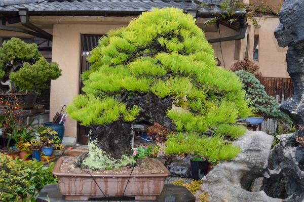 Ιαπωνική μαύρη πεύκη (Pinus thunbergii)