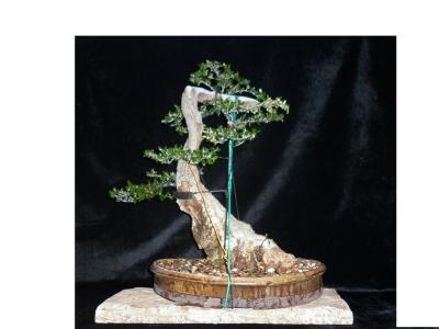 Olea sylvestris pre-bonsai -3-