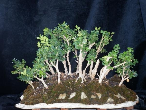 Buxus sempervirens (Yose ue)