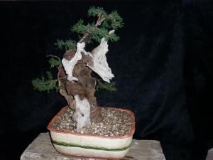 Cupressus sempervirens Totem