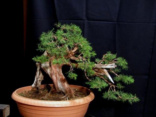 Juniperus Phoenicea από το workshop με τον AndreaMeriggioli..