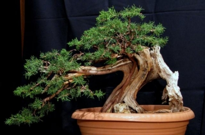 Juniperus Phoenicea  από το workshop με τον Andrea Meriggioli