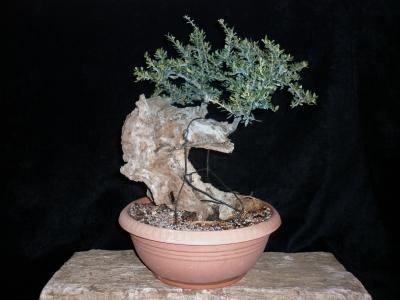 Olea sylvestris pre-bonsai -1-