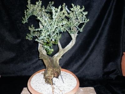 Olea sylvestris pre-bonsai -2-